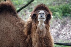 CleMetZoo Bactrian camel_1391540589987_2262282_ver1.0_640_480