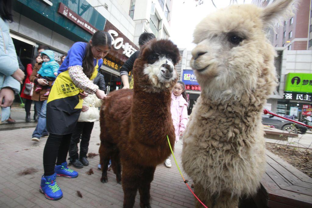 Llamas Get Groomed