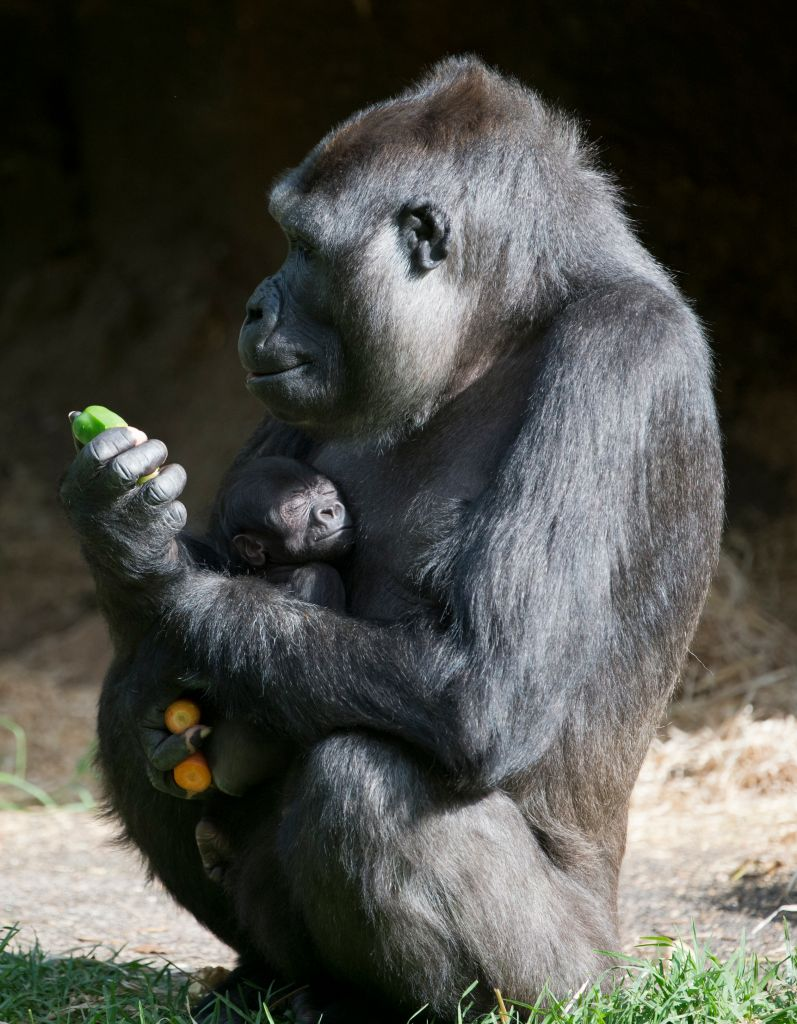 Gorilla's At Melbourne Zoo With New Born Baby Gorilla.