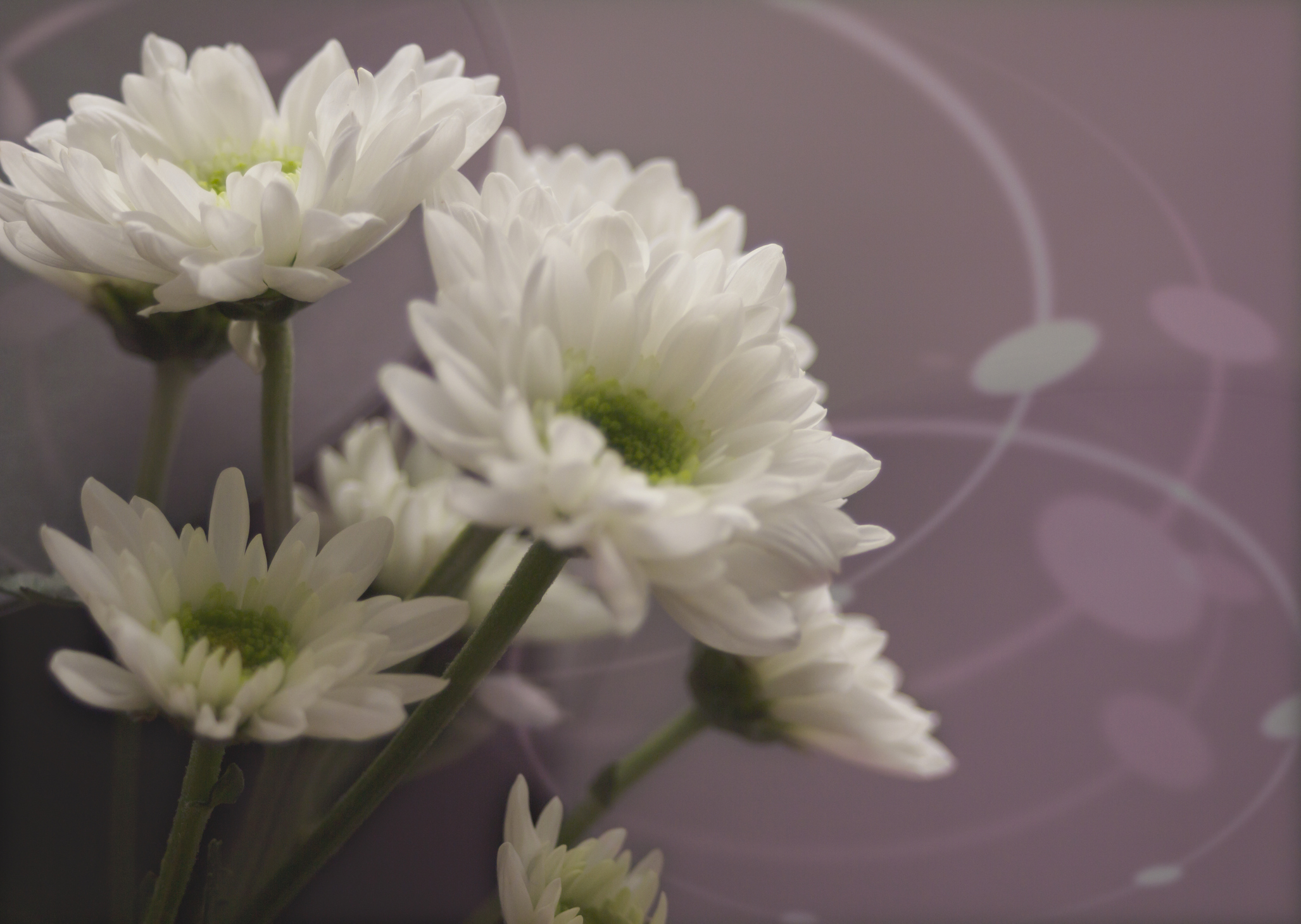 Spray mums (Mourning image)
