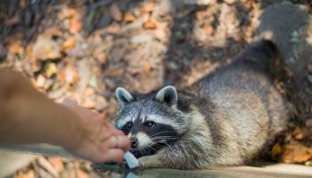 Close-Up Of Hand Feeding Racoon