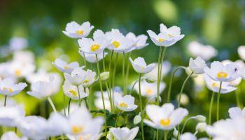 Snowdrop Anemone - Anemone sylvestris- in Spring season. Shallow focus.