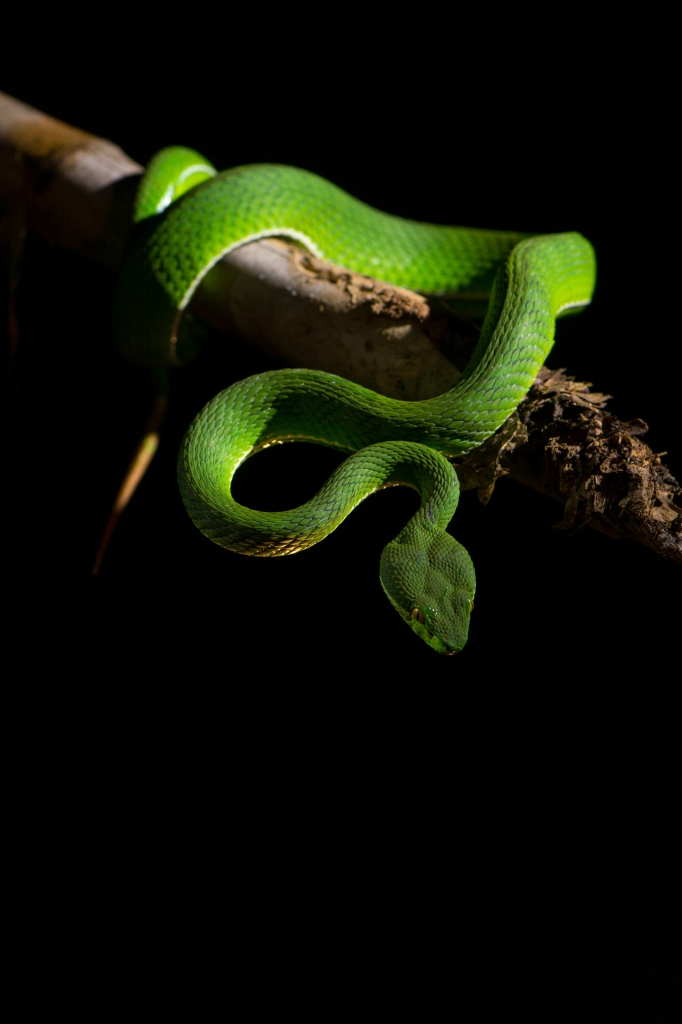 Green pit viper on black background