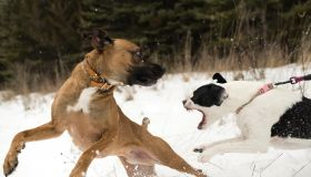 Dog running away from aggressive dog on leash in snow
