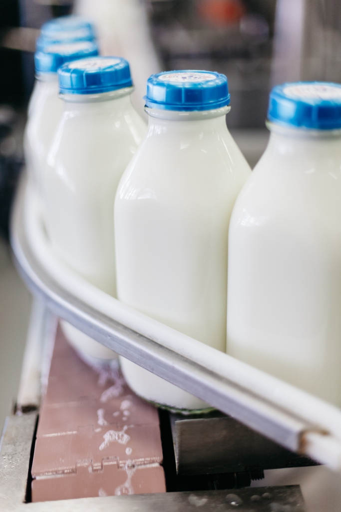 Full Milk Bottles on a Conveyor Belt