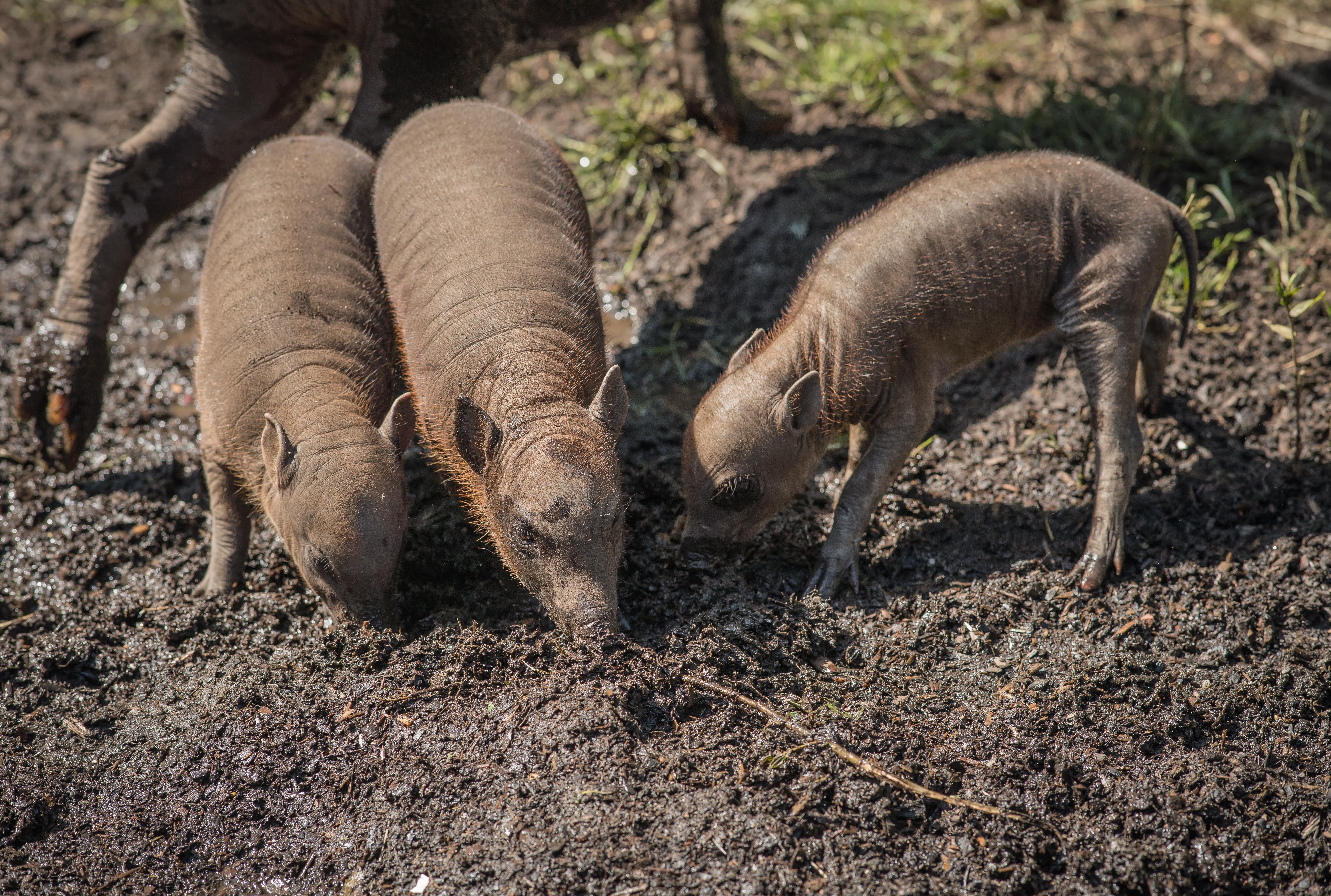 Three little piggies! Rare Babirusa trio born at Chester Zoo