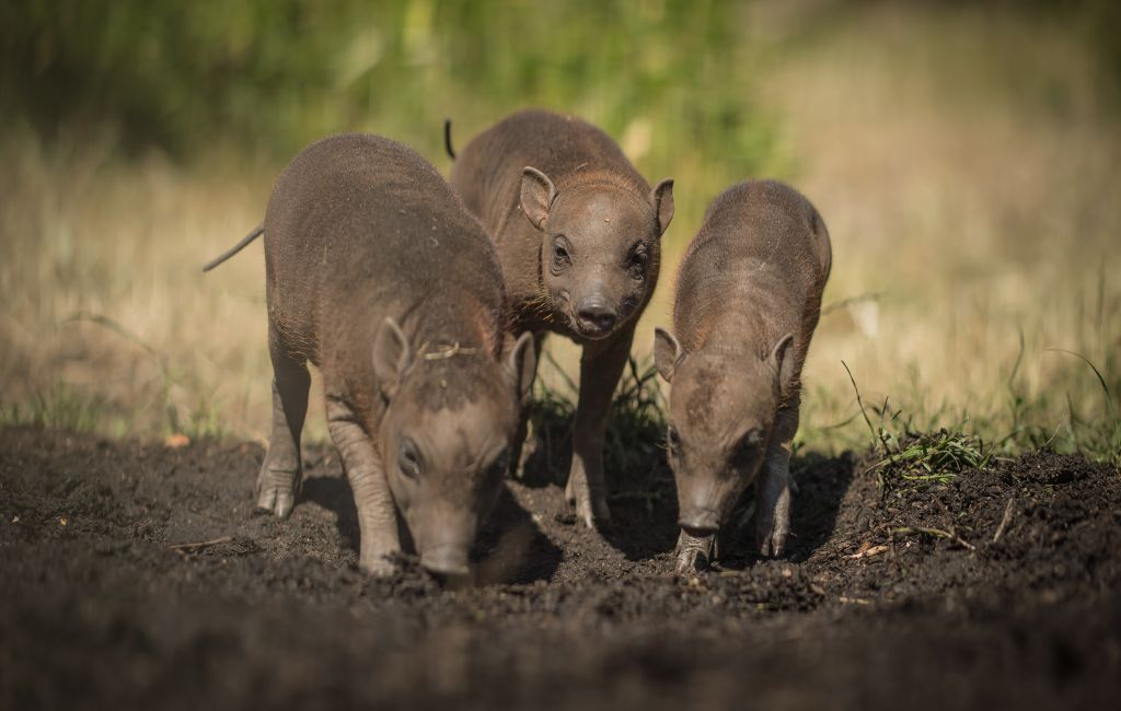 Three little piggies! Rare Babirusa trio born at Chester Zoo