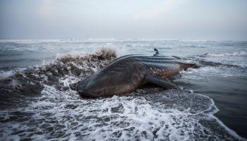 Whale On Sea Shore At Beach