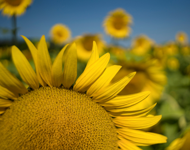 Close up of a Sunflower in the Field