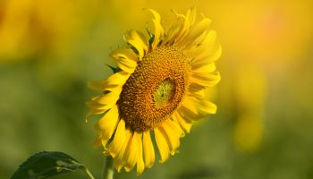 Giant sunflower is in bloom on a brilliant