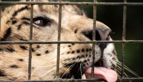 Close-Up Of A Large Cat Cat With Tongue Out Through Fence
