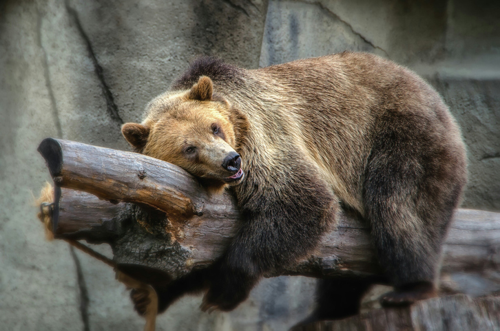 Low Angle View Of Grizzly Bear Resting On Tree At Cleveland Metroparks Zoo